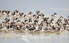 Mid August 2016 and the American Avocets are gathering in numbers around the big pond at the Bear River Bird Refuge in northern Utah soon it will be time to migrate to warmer waters this time of year there colors have faded to their winter colors.