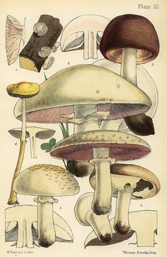 wapiti3:  Agaricus arvensis, A. campestris, and Leucocoprinus cretaceus on Flickr.  The Families of Mushrooms and Toadstools Represented in ...