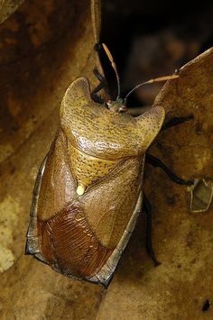 Hemiptera - true bug, not all insects are bugs