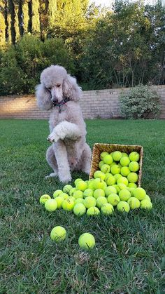 Poodle counting the tennis balls