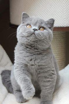 √ 14 Most Amazingly Beautiful Cat Breeds in the World - Katzenrassen Beautiful Cats Cute Kittens, Beautiful Cat Breeds, Beautiful Cats, Gatos British, Kitten Breeds, Breeds Of Cats, Best Cat Breeds, Cute Cat Breeds, British Shorthair Kittens