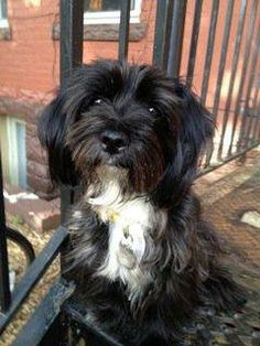 Lucy Havanese & Lhasa Apso Mix • Adult • Female • Small Dirty Dawgz Animal Rescue Aurora, CO