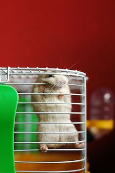 26f336e1f069db22c0792e6b03c6fdfc  hamster care hamster stuff - How To Get My Hamster To Stop Biting His Cage