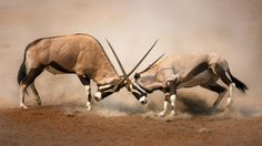 About Animal Fight Club S2 Show - National Geographic Channel - Asia