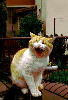 Sbadiglio di un gatto giallo.