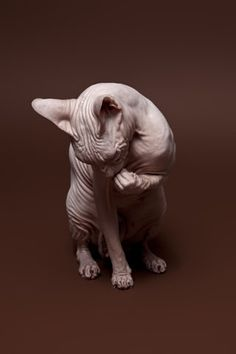 Ive always wanted  a hairless cat