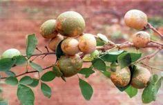 Bael - maçã madeira ou pedra maçã é uma espécie nativa da Índia. Fruta suave com uma casca lenhosa que é de cor amarela, verde ou cinza. Tem uma polpa amarela aromática com várias sementes peludas. A carne pode ser comida secas ou frescas. Pode ser feito um suco chamado sharbat com a fruta fresca.