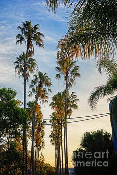 #TALL #PALMS AT #SUNSET by #Kaye #Menner #Photography Quality Prints Cards and more at: http://kaye-menner.artistwebsites.com/featured/tall-palms-at-sunset-kaye-menner.html