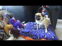 Pug on Drugs