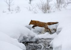 Fox!  I love red foxes.  And in the snow they are especially stunning.