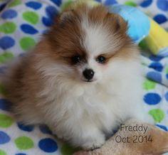 Freddy the pomeranian puppy loves spots