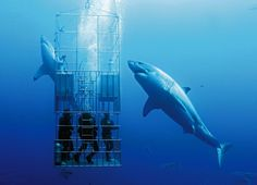 Shark Pictures, Shark Photos, Orcas, Great White Shark Diving, Cage Diving With Sharks, Shark Cage, Shark Shark, Guadalupe Island, Save The Sharks