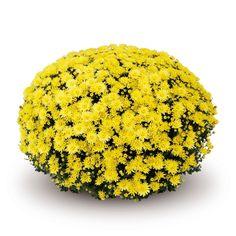 Paularo Yellow