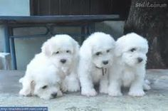 The Coton de Tulear most likely descended in the Bichon Tenerife and later created its cotton-textured coat ('Coton' is French for 'cotton'), which can be believed to possess created from a single gene mutation.