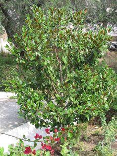 Fabulous Magnolia grandiflora Seite Pflanzenfragen Mein sch ner Garten online