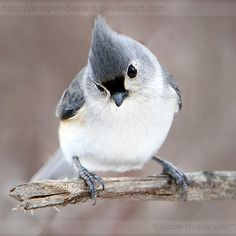 Titmouse                                                                                                                                                                                 More