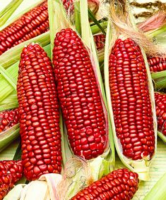Sweetcorn 'Bloody Butcher'. This delicious sweet corn looks fantastic with its long red flasks and delicious to eat! If the plant is young and once is ripe can be made of corn flour. The corn kernels are cooked for a meal.