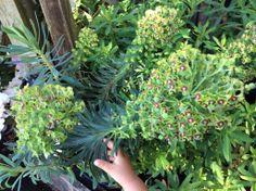Euphorbia characias black pearl