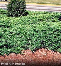 Foundation Planting | Youngstown Juniper - Juniperus horizontalis