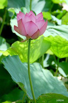 Lovely Pink Lotus Flower