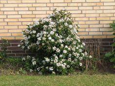 Mittelmeer Schneeball - Viburnum tinus