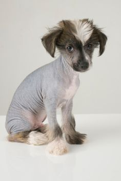 Chinese crested. Gypsy gives me these puppy eyes every time she does something bad lol can't ever get mad at her