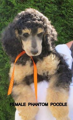20 Best Pets Jake Our Minature Phantom Poodle Images