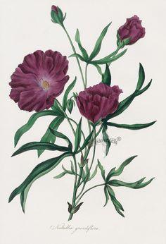 Nuttallia from Paxton Magazine Botany Antique Prints 1834