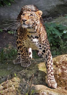 The Amur leopard (Panthera pardus orientalis) // Critically endangered. It is one of the rarest felids in the world with an estimated 27 to 32 individuals remaining in the wild (2007 snow track count).