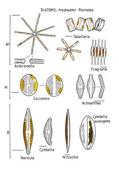Image result for labelled diagram of a spirogyra cell projects to diatoms freshwater pennales ccuart Images