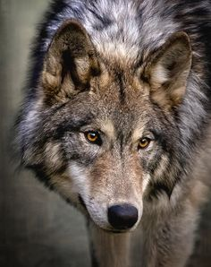 Young Wolf by Wes and Dotty Weber - Young Wolf Photograph – Young Wolf by Wes and Dotty Weber - Wolf Photos, Wolf Pictures, Animal Pictures, Beautiful Wolves, Animals Beautiful, Tier Wolf, Canis Lupus, Animals And Pets, Cute Animals