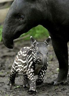 Newborn tapir and mom