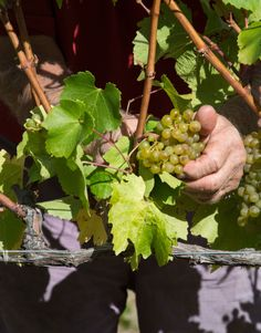 Harvest is here. Winemaking magic in action at #gibbstonvalley #nzwine