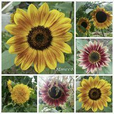 https://www.instagram.com/p/BKu1tXrjVeL/ ...sunflowers