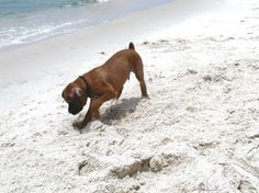 a dog's first trip to the beach! on St. George Island, Florida #beach #dogs