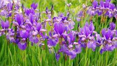 Ein Iris-Blütenmeer