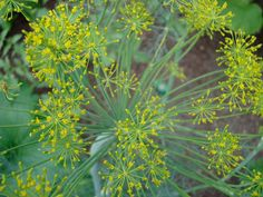 Bouqet Dill - Dwarf variety 'only' grows 3′ high. Very aromatic and produces lots of flavorful leaves and seeds. Great companion to most plants and foods. Easy-to-grow. Direct seed in spring or late summer. Moderately frost-tolerant. Full sun. Annual.