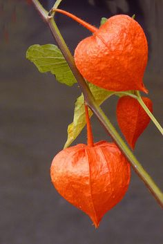 Chinese Lanterns.. . .These always remind me of my father..a favorite of his.