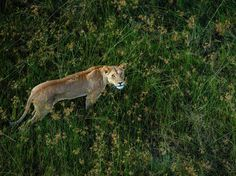 lion in the grass | National Geographic