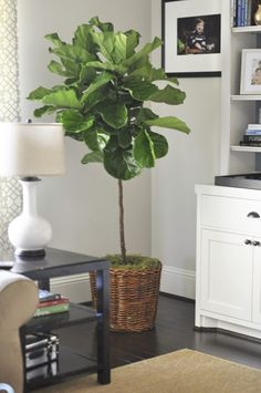 Fiddle Leaf Fig Tree & very similar colours of paint, trims and flooring in the new house.