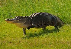 Cool Photos of Crocodiles and Alligators