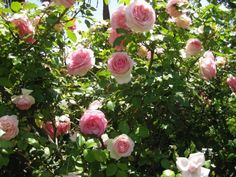 'Pierre De Ronsard' grows to an average height, so it's easy to place it in most gardens, and it's an ideal rose for arbors, fences or walls.  Mature Plant Size: 10 feet.    Bloom Size: 4 inches.  Flowering: spring, repeats summer and fall.  Fragrance: sweet tea rose perfume.  Year Inroduced: 1985 by Meiland, France.  Hardiness Zone: zone 6.  American Rose Society Rating: 8.3.