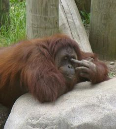 Orangutan Picture Funny Monkey | An orangutan shows the middle finger.jpg
