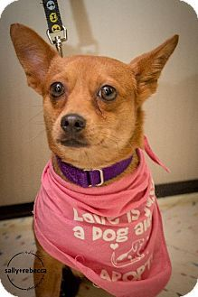 Livonia, MI - Chihuahua Mix. Meet Piglet, a dog for adoption. http://www.adoptapet.com/pet/11300145-livonia-michigan-chihuahua-mix