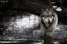 gray wolf river by Yair-Leibovich.deviantart.com on @deviantART