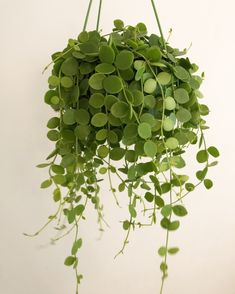 Succulents are beautifu, exotic houseplants. See 7 types of String succulents that are both low maintenece and easy to water. Hanging Plants, Potted Plants, Indoor Plants, Foliage Plants, Porch Plants, Hanging Succulents, Buy Plants, Tomato Plants, Small Plants
