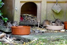 Got Mice in Your Chicken Coop?