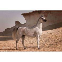 Al Waab Stud, Qatar Photo: @jgogden #arabianhorses #arabian #arab #straightegyptian #mare #equine #equinephotography #horse