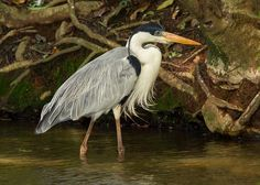 The Great Blue Heron (Ardea herodias) is a large wading bird in the heron family. It is common near the shores of open water and in wetlands over most of North and Central America.