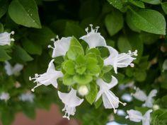 Flores de albahaca